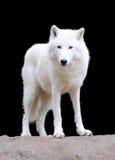 在黑暗的背景的白狼 免版税库存图片