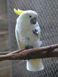 美冠鹦鹉有顶饰硫磺 库存图片
