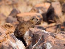 岩石非洲蹄兔坐石头 库存照片