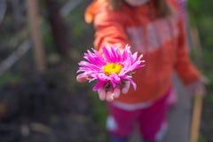 在小女孩棕榈的翠菊  免版税库存图片