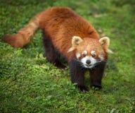 好奇熊猫红色 免版税库存照片