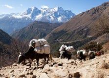 去珠穆琅玛营地的牦牛有蓬卡车  库存图片