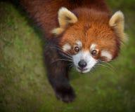 看起来的红熊猫惊奇 库存照片