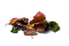 干的五颜六色的绿叶刺蕊草叶子 图库摄影