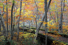 Деревянный путь прогулки пропуская через красочный лес осени Стоковое фото RF
