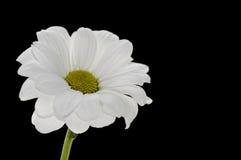 在黑背景的唯一白色春黄菊 免版税库存照片