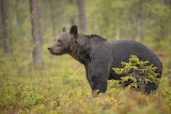 Бурый медведь в Финляндии Стоковые Фотографии RF