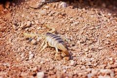 Τριχωτός σκορπιός ερήμων στο έδαφος Στοκ Φωτογραφία