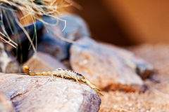 Τριχωτός σκορπιός ερήμων στο βράχο Στοκ εικόνα με δικαίωμα ελεύθερης χρήσης