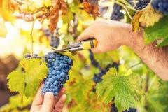 收获成熟葡萄的农夫在葡萄园里在一个秋季晴天 免版税库存照片