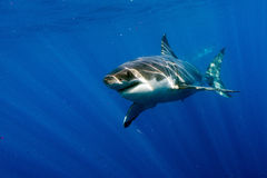 Большая белая акула готовая для того чтобы атаковать Стоковые Фотографии RF