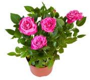 桃红色玫瑰开花的植物在白色隔绝的花盆的 免版税库存照片