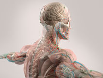 显示面孔、头、肩膀和后面的人的解剖学 免版税图库摄影