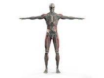 显示前面充分的身体、头、肩膀和躯干的人的解剖学 免版税库存照片