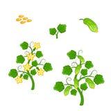 有种子和花的黄瓜植物 库存图片