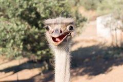 驼鸟滑稽的画象 免版税库存图片
