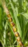 生长在种植园的甘蔗植物在考艾岛 免版税图库摄影