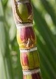 生长在种植园的甘蔗植物在考艾岛 库存图片