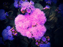 心形的藿香蓟属桃红色和蓝色 图库摄影