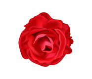 猩红色玫瑰,传染媒介 免版税库存照片