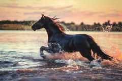 Черная лошадь бежать в воде на заходе солнца Стоковые Изображения