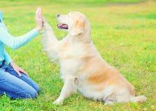 训练在草的所有者金毛猎犬狗,给爪子 免版税库存图片