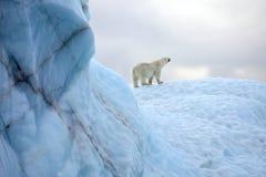Выживание полярного медведя в арктике Стоковые Фото