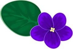非洲非洲堇紫罗兰 库存照片