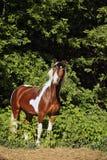 Άλογο πόνι γανωτών στα θερινά ξύλα Στοκ Φωτογραφία