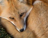 Κόκκινο πορτρέτο αλεπούδων Στοκ φωτογραφία με δικαίωμα ελεύθερης χρήσης