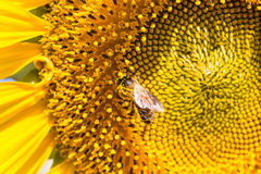 在向日葵的特写镜头蜂 库存图片