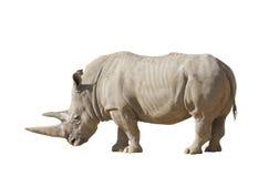 在白色背景的白犀牛 免版税库存照片