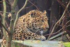 北部中国豹子 库存照片