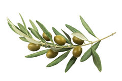 Оливковая ветка с зелеными оливками на белой предпосылке Стоковые Изображения RF