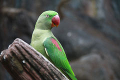 一只绿色鹦鹉在木材有红色额嘴站立并且注视着某事观察者的右边 免版税图库摄影
