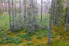 森林云杉的结构树 图库摄影