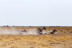 在多灰尘的白色沙子的斑马辗压 免版税库存图片