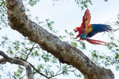 从哥斯达黎加的一只金刚鹦鹉鹦鹉 免版税库存照片