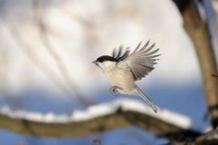 飞行杨柳山雀在冬天森林里 免版税库存图片