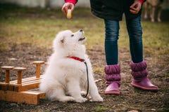 白色萨莫耶特人小狗室外在公园 免版税库存图片