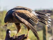 哈里斯鹰在图森,亚利桑那 库存照片