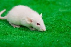 在绿草的白色老鼠 免版税库存照片