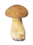 被隔绝的小黄色天鹅绒牛肝菌 免版税库存照片