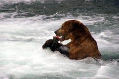 熊吃北美灰熊三文鱼 库存图片