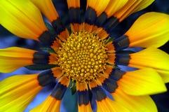 杂色菊属植物 免版税图库摄影
