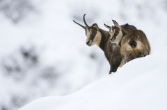 在阿尔卑斯的雪的羚羊 免版税图库摄影