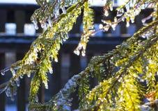 在绿色云杉的分支的透明冰盖了温暖的太阳 免版税库存照片