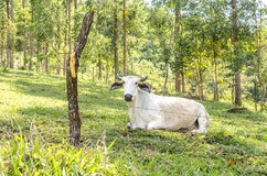 巴西公牛在牧场地 库存照片