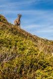停留在陡峭的小山阿尔卑斯,法国的逗人喜爱的羚羊 库存图片
