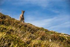 停留在陡峭的小山阿尔卑斯,法国的逗人喜爱的羚羊 免版税库存照片